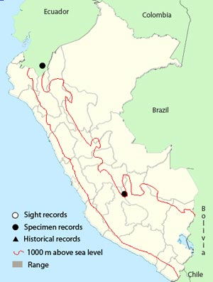 foothill elaenia