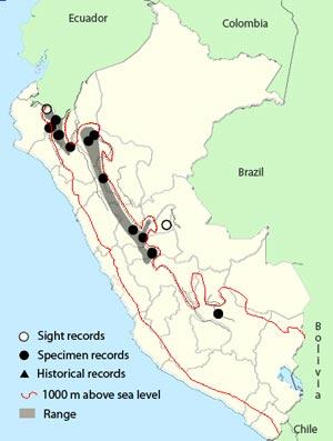 white-tailed tyrannulet