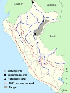 amazonian black-tyrant