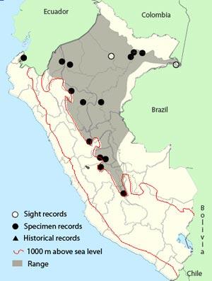 black-tailed flycatcher