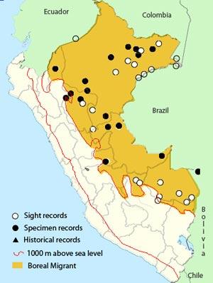 crowned slaty flycatcher