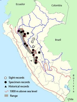 peruvian tyrannulet