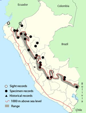 white-throated spadebill