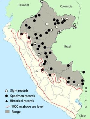 amazonian-barred woodcreeper