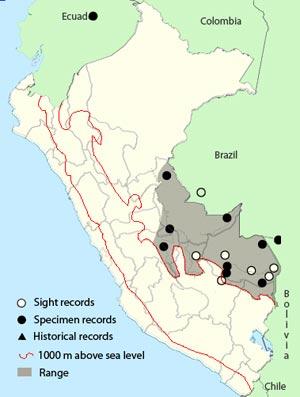 dusky-tailed flatbill