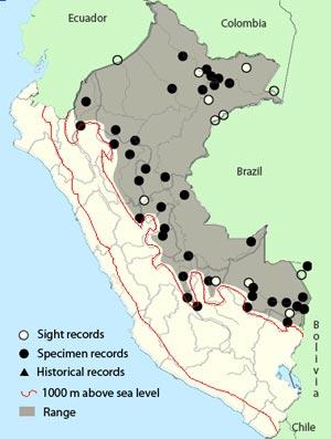 black-tailed leaftosser