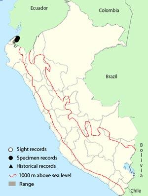 blackish-headed spinetail