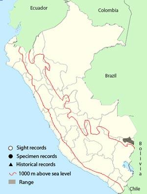 bolivian recurvebill