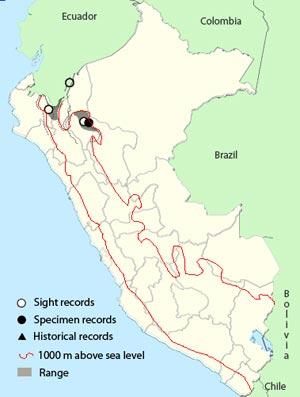equatorial graytail