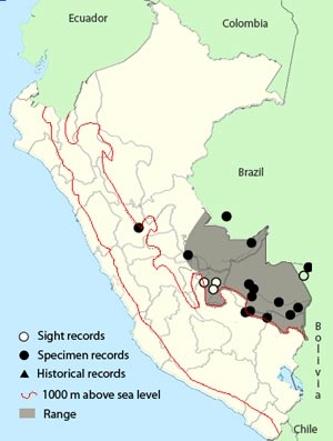peruvian recurvebill
