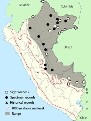 amazonian streaked antwren
