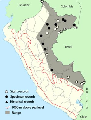 amazonian antshrike