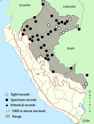 peruvian_warbling-antbird