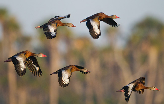 Black-bellied-Whistling-Duck