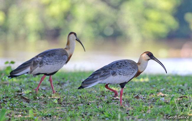Buff-necked-Ibis