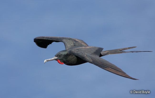 Great_frigatebird