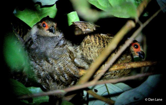 Marbled wood quail