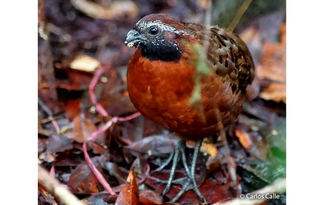 Rufous-breasted-Wood-quail
