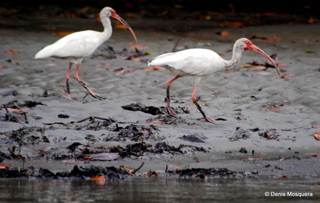 White-Ibis