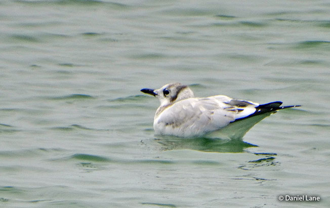 andean-gull