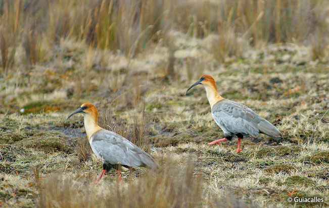 andean-ibis