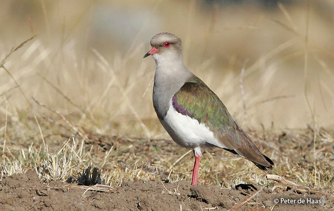 andean-lapwing