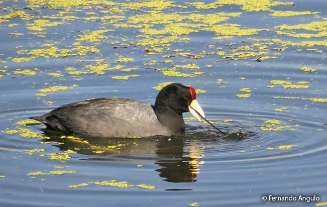 andean_coot