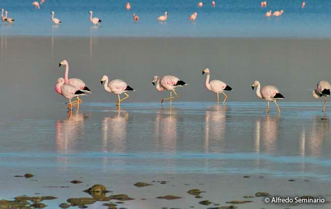 andean_flamingo