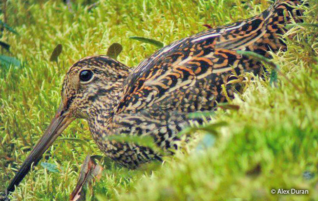 andean_snipe