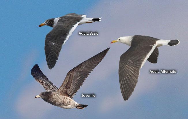 band-tailed_gull
