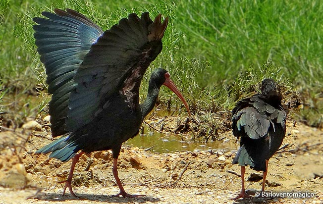 bare-faced_ibis