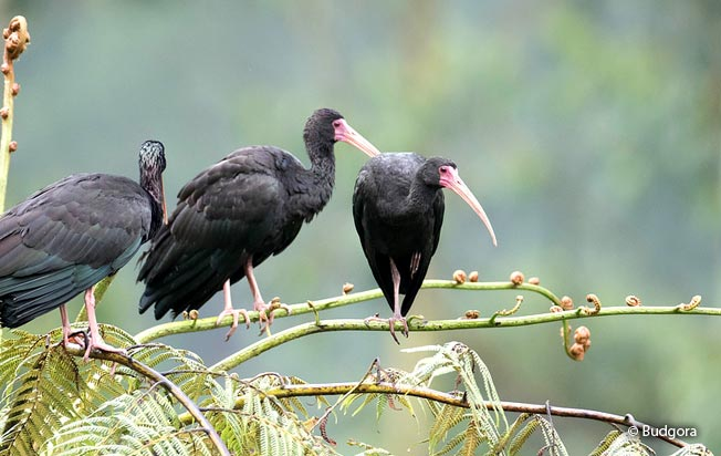 bare-faced_ibis
