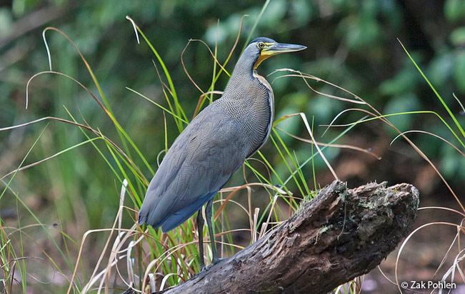 bare-throated_tiger-heron