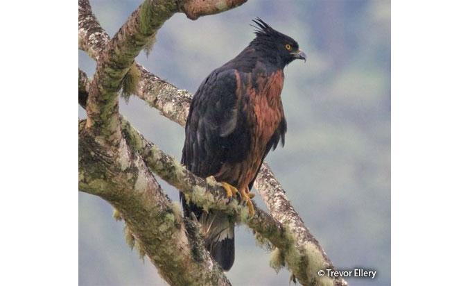 black-and-chestnut-eagle