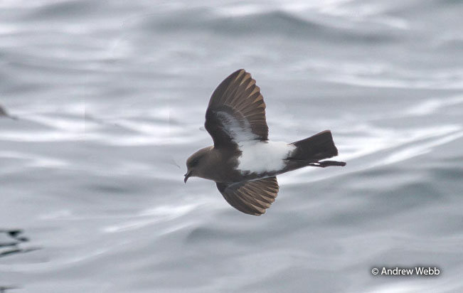 black-bellied-storm-petrel