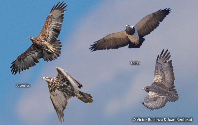black-chested_buzzard-eagle