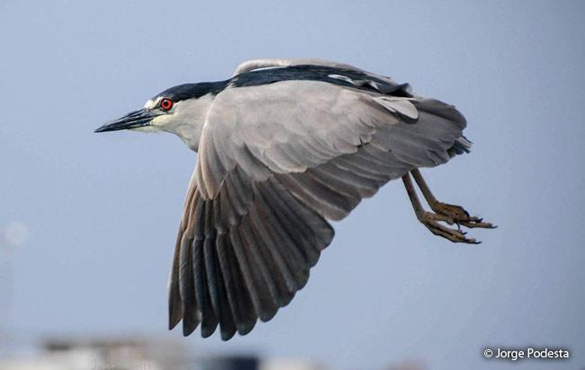 black-crowned_night-heron