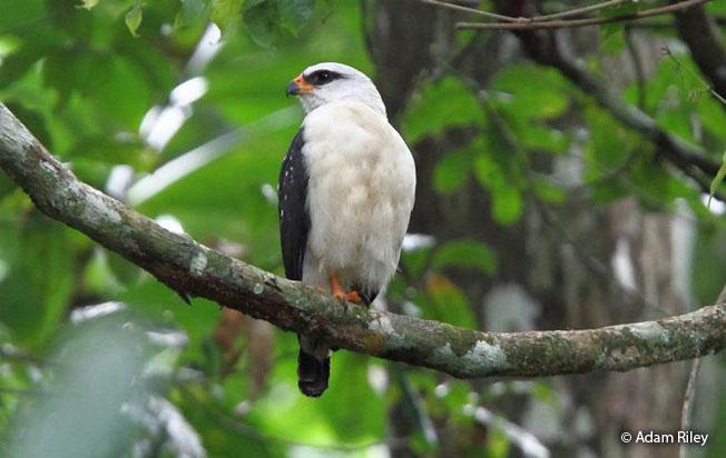 black-faced-hawk