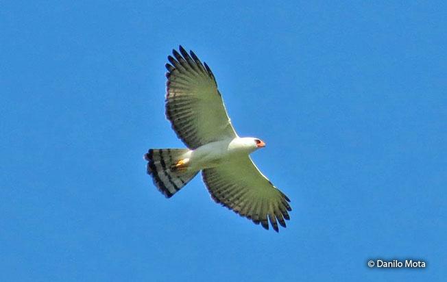 black_and_white_hawk-eagle