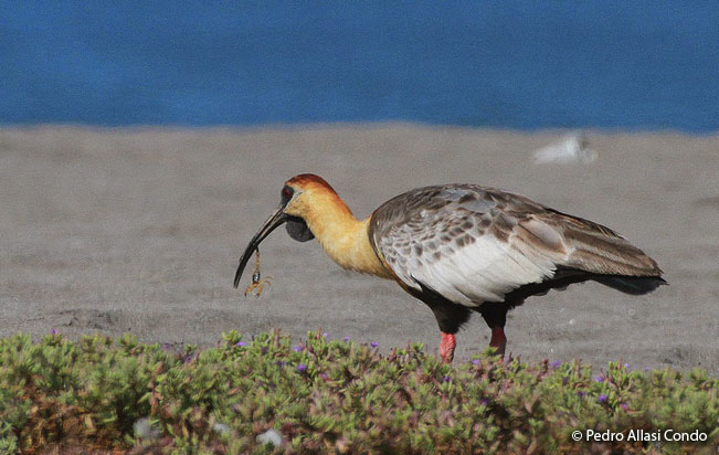 black_faced-ibis