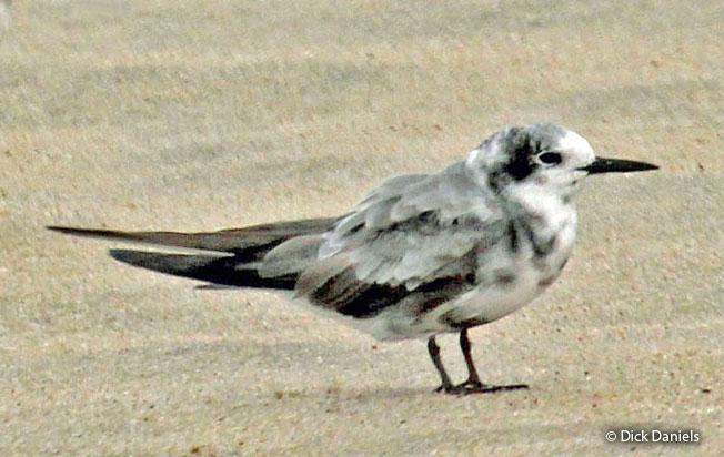 black_tern