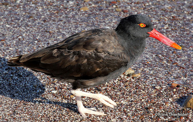 blackish_oystercatcher