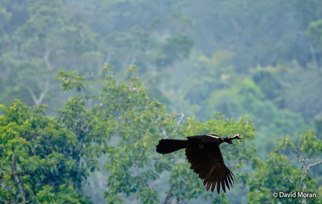 blue-throated_piping-guan