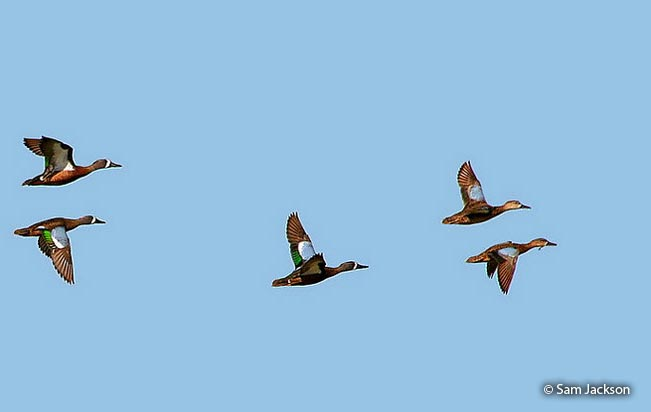 blue-winged_teal