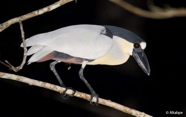 boat-billed_heron