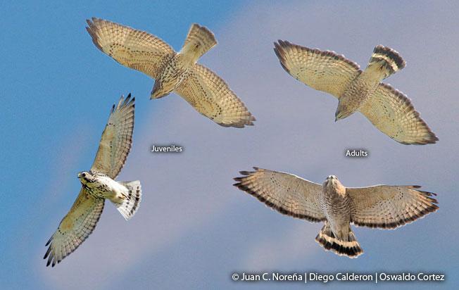 broad-winged-hawk