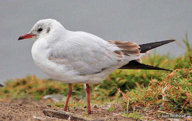 brown-hooded_gull