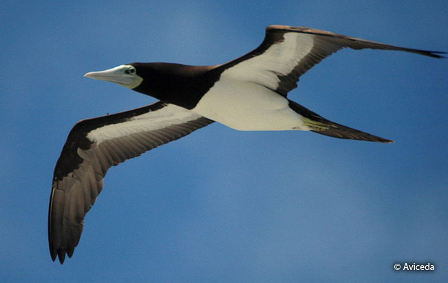brown_booby