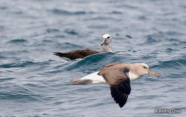 buller's_albatross