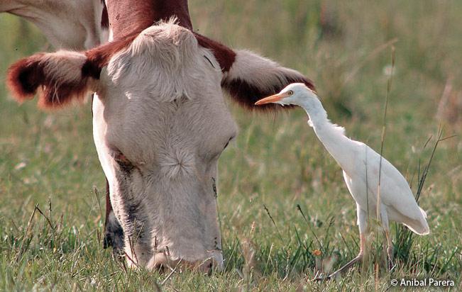 cattle_egret
